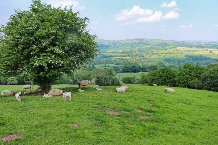 sheep on the gritstone trail roseanna sunley travel blog